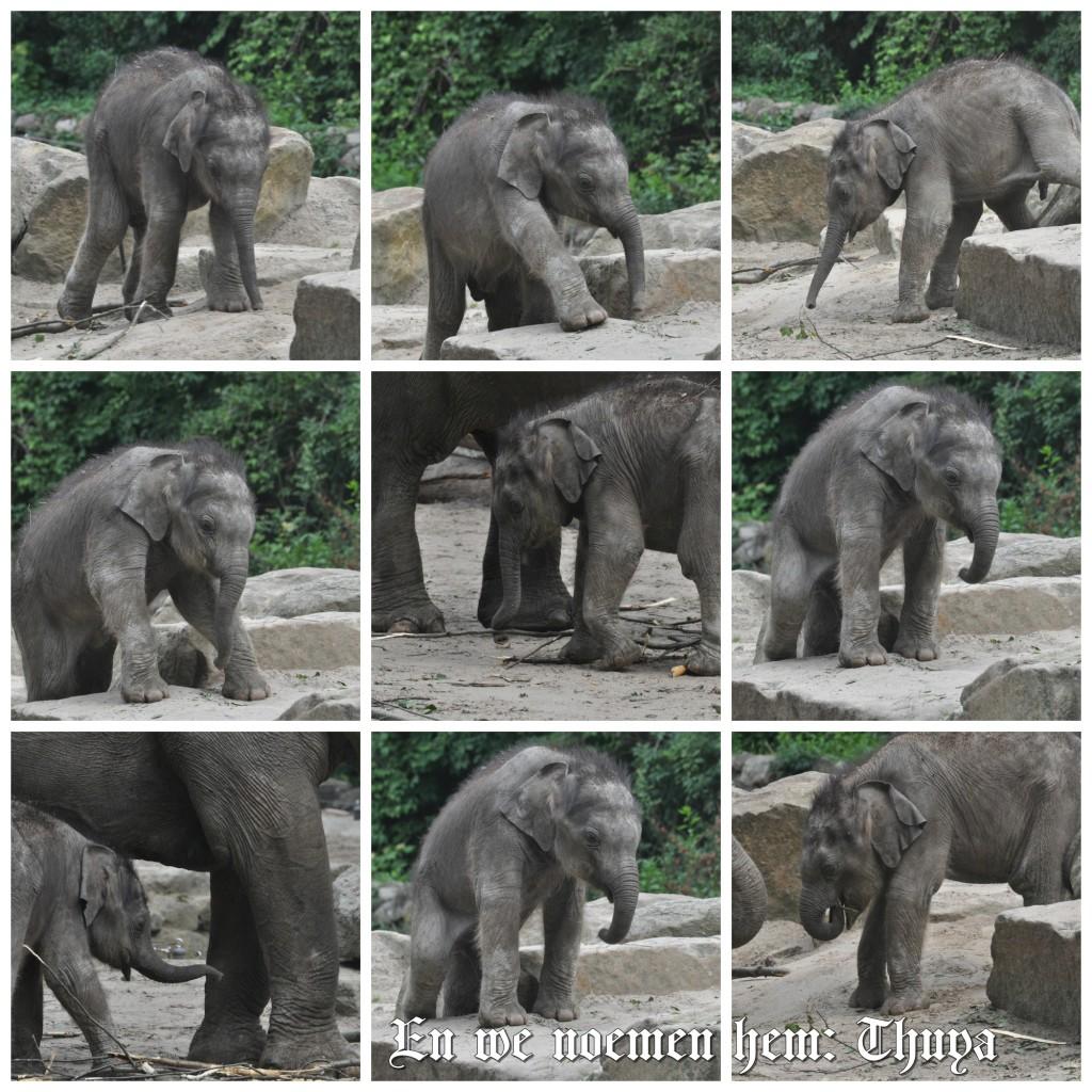 babyolifantje