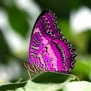 vlinder-paars